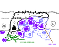 微皱褶细胞.png