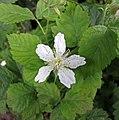 懸鉤子屬 Rubus caesius v agrestis -哥本哈根大學植物園 Copenhagen University Botanical Garden- (36775674051).jpg