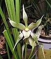 春劍-白花 Cymbidium longibracteatum Plain-flower-series -香港沙田國蘭展 Shatin Orchid Show, Hong Kong- (9222672536).jpg
