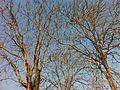 椿樹 - panoramio.jpg