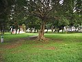 汕大一榕树 - panoramio.jpg