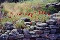 罌粟花 Poppies - panoramio.jpg