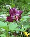 老鸛草屬 Geranium phaeum -斯洛文尼亞 Bled Vintgar Gorge, Slovenia- (27426112150).jpg