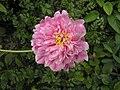芍藥-千層紅荷 Paeonia lactiflora 'Thousand-layered Red Lotus' -北京景山公園 Jingshan Park, Beijing- (12380141545).jpg