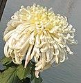 菊花-唐宇錦華 Chrysanthemum morifolium -中山小欖菊花會 Xiaolan Chrysanthemum Show, China- (11961610764).jpg