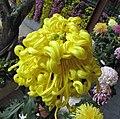 菊花-盤龍臥虎 Chrysanthemum morifolium 'Coiling Dragon Lying Tiger' -香港圓玄學院 Hong Kong Yuen Yuen Institute- (12026338525).jpg