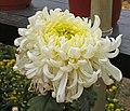 菊花-花王 Chrysanthemum morifolium 'Flower King' -中山小欖菊花會 Xiaolan Chrysanthemum Show, China- (12064617565).jpg