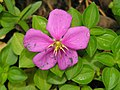 蔓性野牡丹 Dissotis rotundifolia -檳城香料園 Tropical Spice Garden, Penang- (9198166191).jpg