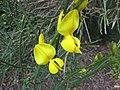鷹爪豆 Spartium junceum -墨爾本 Werribee Park, Melbourne- (11380979364).jpg