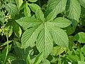 환삼덩굴 잎.JPG