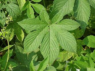 Humulus - Humulus japonicus leaves