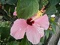 03601jfHibiscus rosa sinensis Philippinesfvf 22.JPG