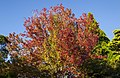04- Autumn Leaves begin to fall Blue Mountains (17314245822).jpg