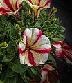 1024 Petunia x atkinsiana-5153.jpg