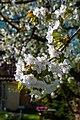 18-04-22-Kirschbluete RRK1725.jpg