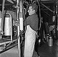 1960 Manège de traite à Brouessy-7-cliche Jean Joseph Weber.jpg