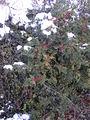 200412 - Houx sous la neige.JPG