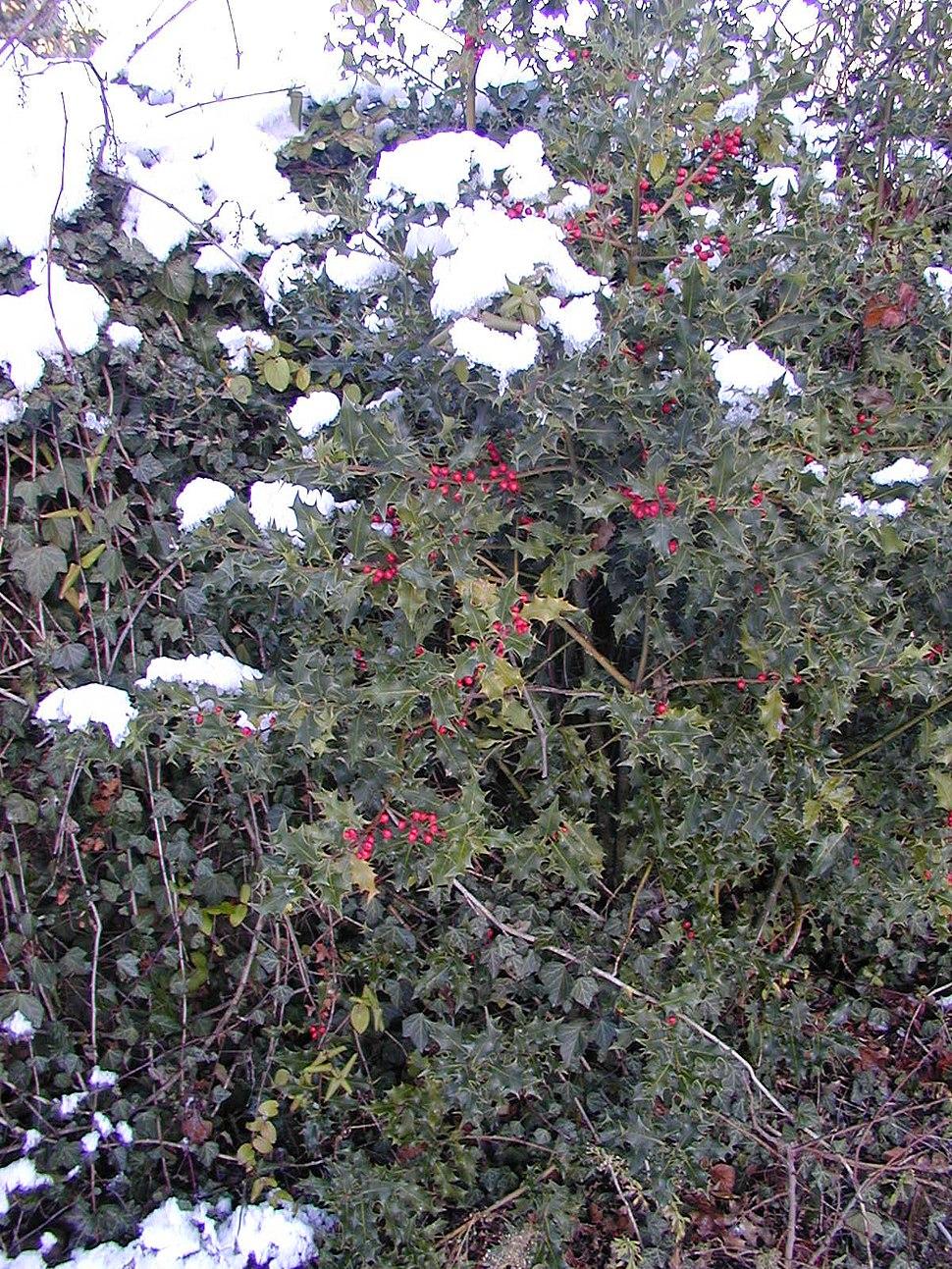 200412 - Houx sous la neige