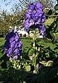 2006-10-18Aconitum01.jpg