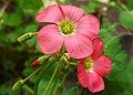 2007-07-01Oxalis tetraphylla02.jpg