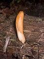 2008-07-04 Hypocrea alutacea (Pers.) Ces. & De Not 15194.jpg