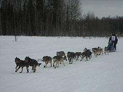 2008 Iditarod Willow (2312019827).jpg
