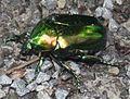 2011 06 12 grünlicher Käfer.JPG