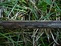 2012-05-26 Pyrenopeziza carduorum Rehm 223497.jpg