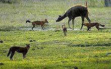 Cuon attaccando un sambar, parco nazionale di Bandipore.