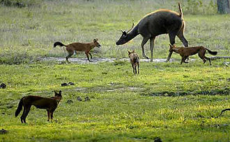 Sambar deer - Sambar attacked by dholes, Bandipur National Park