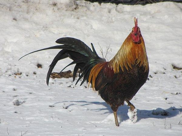 20120128 33 Rooster, Mendota, Illinois.jpg