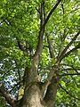 20120821Ahorn Friedhof Hockenheim5.jpg