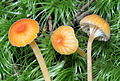 2013-07-13 Rickenella fibula (Bulliard- Fries) Raithelhuber 348931.jpg