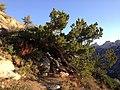 2013-09-16 07 31 34 Gnarled Whitebark Pine along the Island Lake Trail at about 9180 feet in Lamoille Canyon, Nevada.jpg