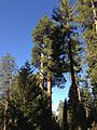 2013-09-20 09 50 22 Trees in Grant Grove.JPG
