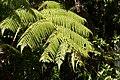 2013.10.31.113011 Hapuu pulu tree fern (Cibotium glaucum) Hawaii Volcanoes National Park Hawaii.jpg