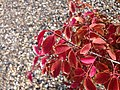2014-09-28 12 32 04 Euonymus autumn foliage in Elko, Nevada.JPG