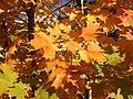 2014-10-30 10 32 09 Sugar Maple foliage during autumn along Durham Avenue in Ewing, New Jersey.JPG