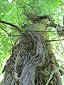 20140606Vitis vinifera subsp. sylvestris01.jpg