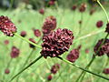 20140809Sanguisorba officinalis3.jpg