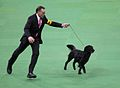 2014 Westminster Kennel Club Dog Show (12486991195).jpg