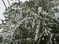 2015-05-07 07 29 42 New green leaves covered by a late spring wet snowfall on a Siberian Elm on South 7th Street in Elko, Nevada.jpg