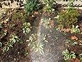2015-10-17 14 01 25 Rainbow in hose spray on hosta on Tranquility Court in the Franklin Farm section of Oak Hill, Virginia.jpg