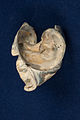20150223 1929 WMAT Gastropoda shell 0957.jpg