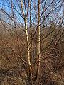 20150309Betula pubescens4.jpg