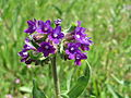 20150522Anchusa officinalis1.jpg