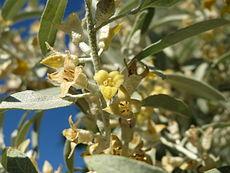 20150604Elaeagnus angustifolia5.jpg