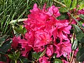 2016-05-14 10 59 01 Renee Michelle Pink Azalea blossoms along Tranquility Court in the Franklin Farm section of Oak Hill, Fairfax County, Virginia.jpg