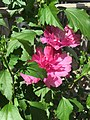 2016-08-22 15 10 22 Rose-of-Sharon 'Altea Lucy' blossoms along Tranquility Court in the Franklin Farm section of Oak Hill, Fairfax County, Virginia.jpg