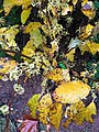 2016-11-29 15 23 59 American witch-hazel flowers and autumn foliage along Tranquility Court in the Franklin Farm section of Oak Hill, Fairfax County, Virginia.jpg